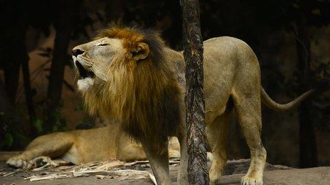 Lion roared