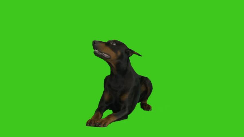 Doberman lying on green screen #34056061