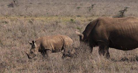 White Rhinoceros, ceratotherium simum, Mother and Calf, Nairobi Park in Kenya, Real Time 4K
