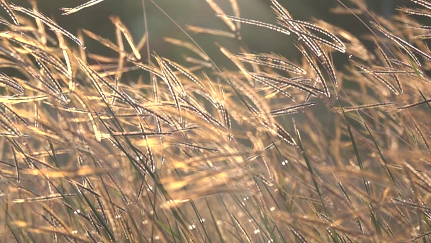 Slow motion grass in glassland on sunset. Pasture is land in narrow sense are enclosed tracts of farmland grazed by domesticate livestock. In pasture land consist mainly of grasses legumes and fodder.