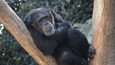 Common chimpanzee rest in a tree - Pan troglodytes