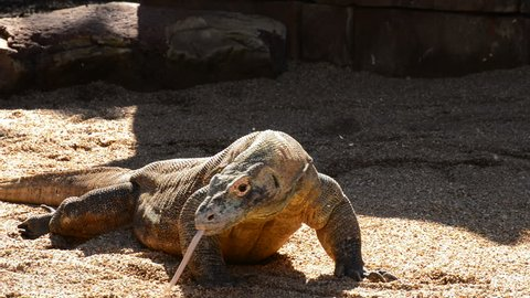 Komodo dragon or Komodo monitor sunbathing and whistling with his tongue - Varanus komodoensis