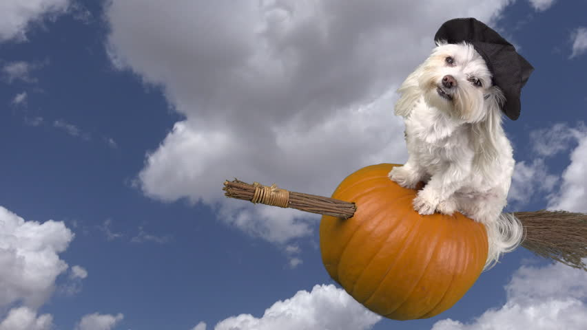 Adorable dog witch rides halloween pumpkin broom through blue cloud-filled  sky, time lapse. 4K UHD 3840x2160 & Motion