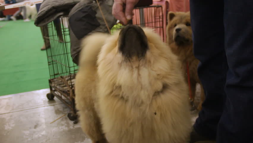 Owner feeding trained dog, cute fluffy Chow Chow listening to commands, animals