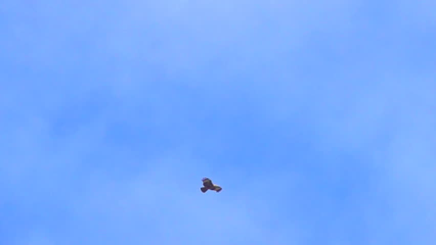 Eagle flying concept. Slow motion eagle flying on sky blue or azure sky. It large and powerfully built bird of prey and heavy heads and beaks.  The booted eagle or red-tailed hawk have longer and wing