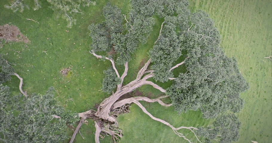 aerial: Old Pohutukawa tree fallen over on One Tree Hill Volcano. Auckland, New Zealand