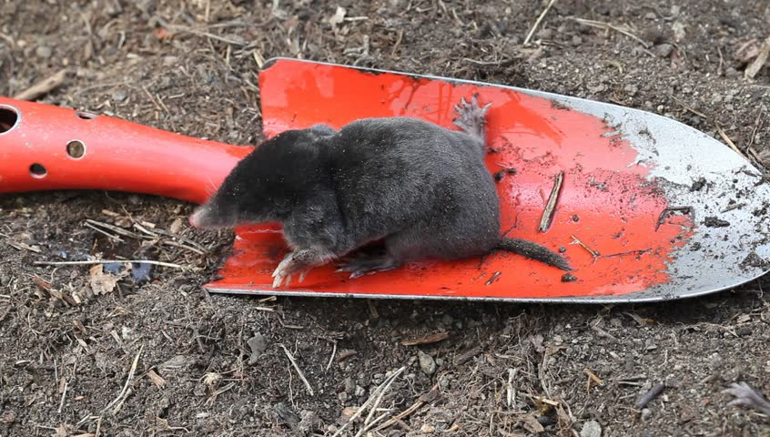 Young mole drinking water from red garden scoop