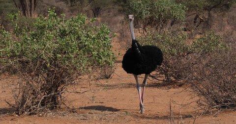 Somali Ostrich, Struthio camelus molybdophanes, Male walking through the Bush, Samburu Park in Kenya, Real Time 4K
