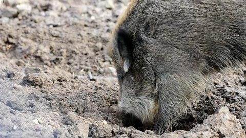 wild boar at digging