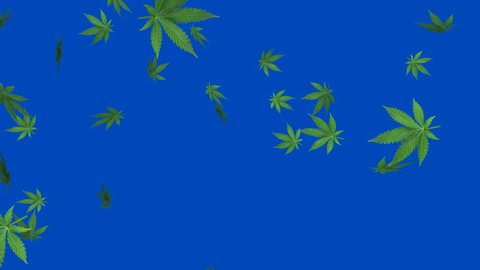 Marijuana leaf - loop, 4K, blue screen