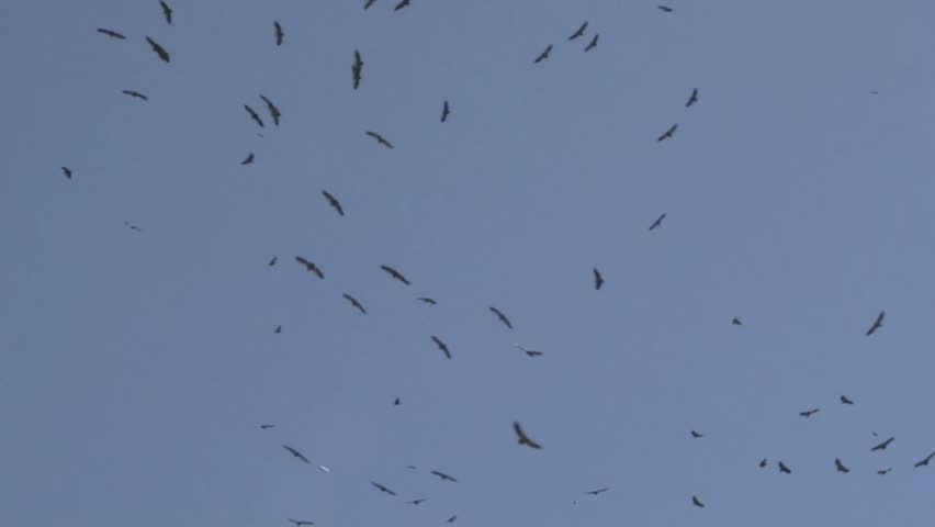Group of Vultures flying above, against blue sky.