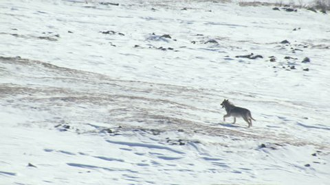 Aerial view of wild Gray Yukon Wolf hunting for food snowy tundra mountain Wilderness of Alaska USA