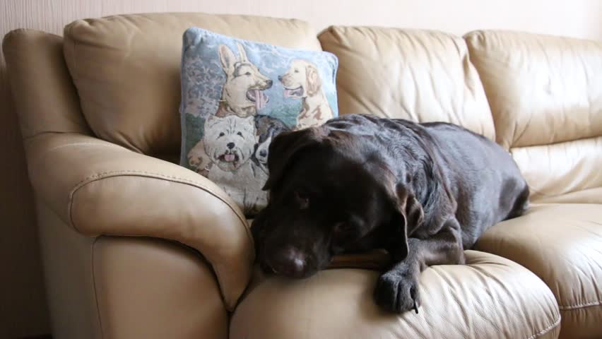 The chocolate labrador lies on a leather sofa and gnaws at the bone. | Shutterstock HD Video #34644061