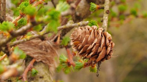 Beautiful fresh green branches of larch tree close up blooming in the spring.