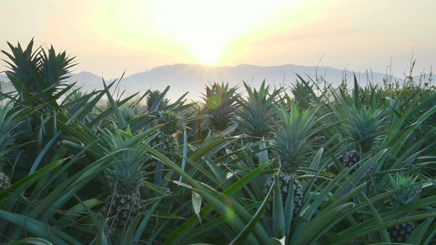 Pineapple plantation on the morning scene , smooth movement video scenes   Shutterstock HD Video #34832641