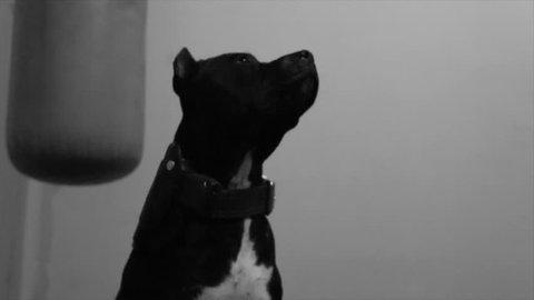 Black pitbull staying alert as guard dog. Monochrome