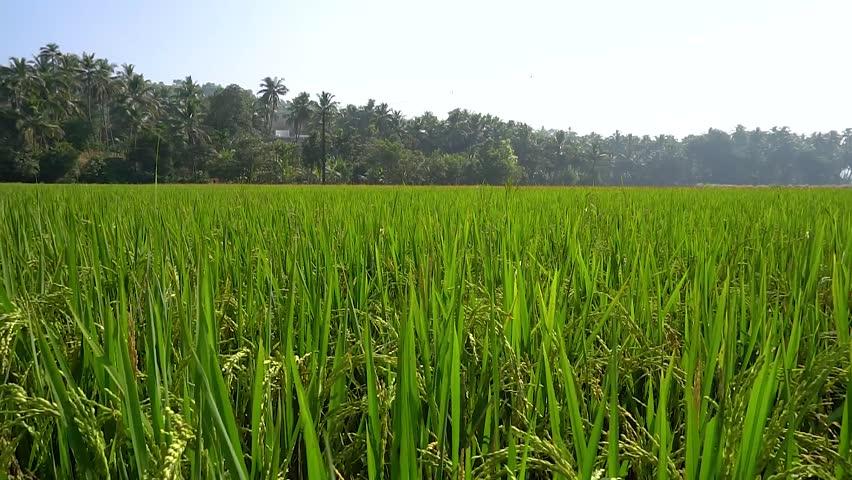 paddy/rice field in kerala