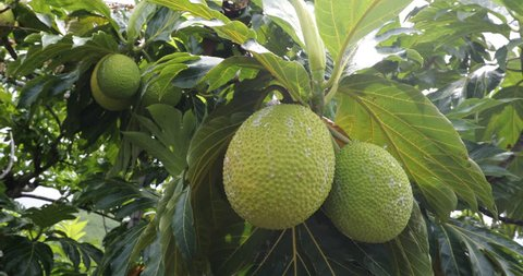 Breadfruit - From French Polynesia travel. Breadfruit is a species of flowering tree in the mulberry and jackfruit family originating in the South Pacific and eventually spreading to rest of Oceania