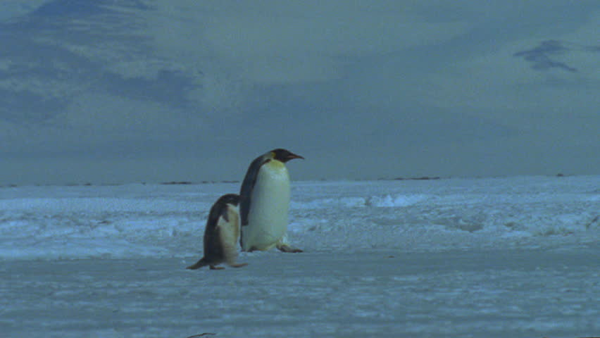 Emperor penguins and Adélie Penguin