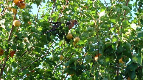 Australian Crimson Rosella parrot eating apricots in suburban garden on a windy summer day, handheld.