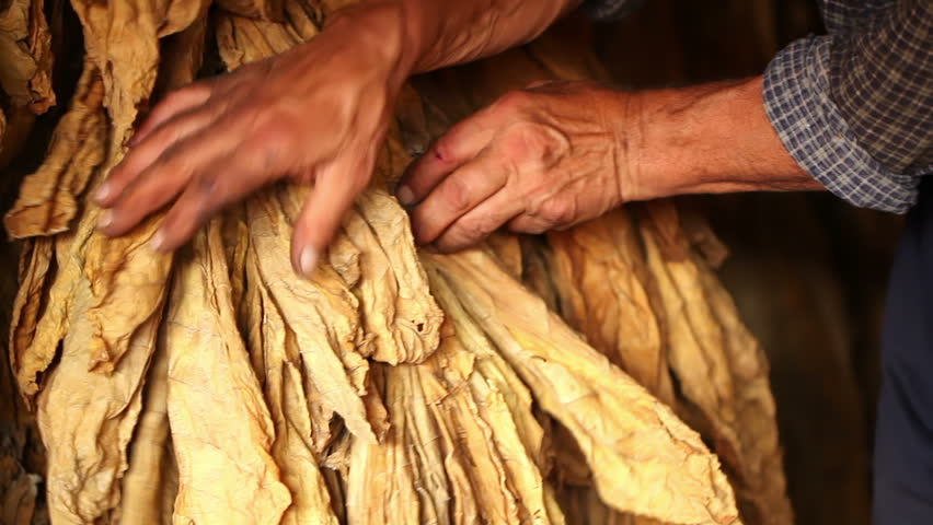 Farmer watching and controlling of drying tobacco