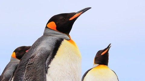 King Penguin Close Up - Falkland Islands (Volunteer Point)