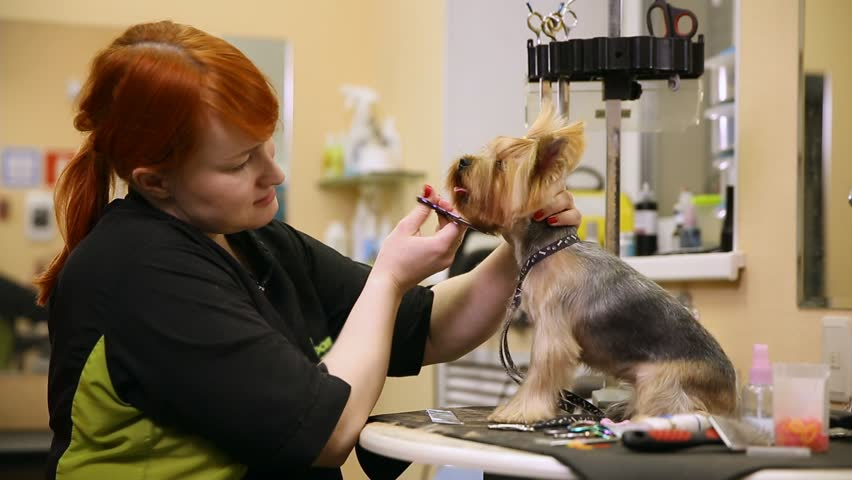 A professional grummer woman shears a yorkshire terrier dog with a pair of scissors. beauty salon for dogs