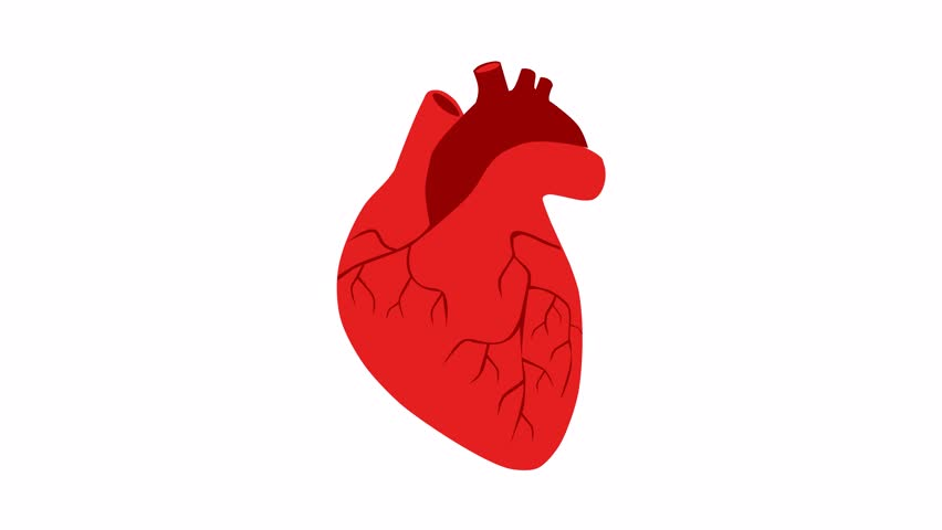 Human heart on a white background.