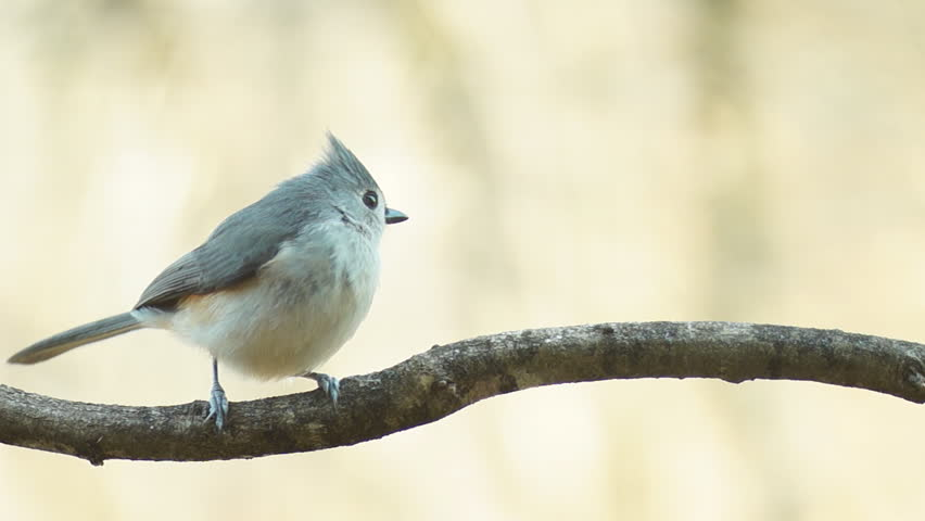 Tufted Titmouse vocals, close-up of Titmouse calling to mate, winter in Georgia