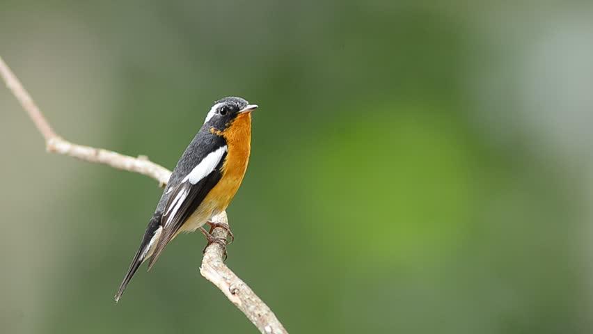 Bird (Mugimaki Fiycatcher) , Thailand | Shutterstock HD Video #3520475