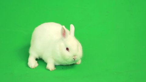Fluffy white rabbit sniffing around  on green screen