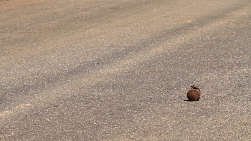 Dungbeetle rolling Dung Ball across Road