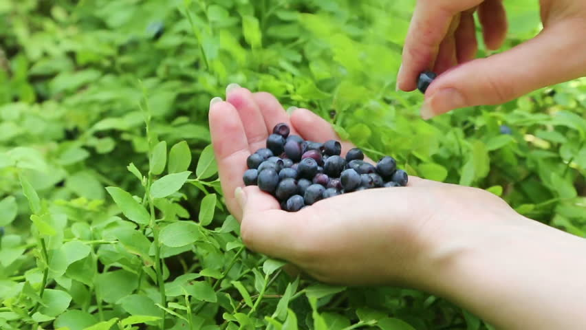 Close-up of woman's hand with blueberries #3637526
