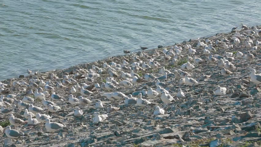 Seagulls sit on the ground then take off and fly away. Slow motion.