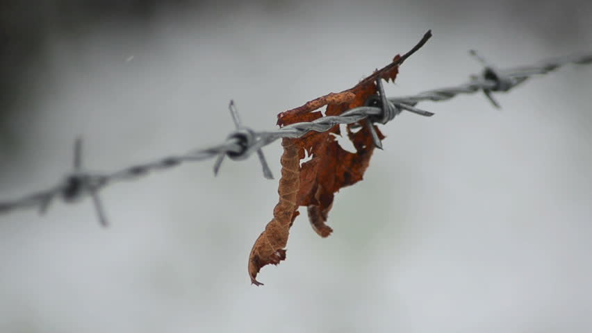 Lonely Leaf snagged on barbed wire fence