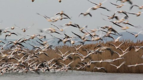 Super Large Flock of Great White Pelicans... (Danube Delta)
