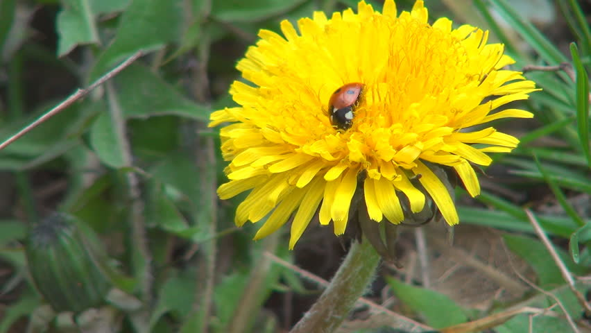 Ladybug Sleeping on Dandelion Flower in Field, Meadow, Lawn, Macro, Ladybird