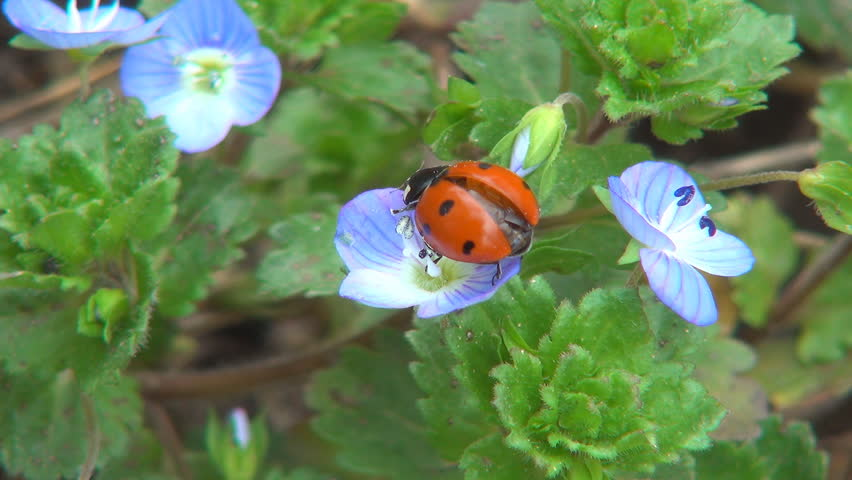 Ladybug Preparing Wings to Fly on Veronica Persica Flower, Ladybird, Bug, Bettle