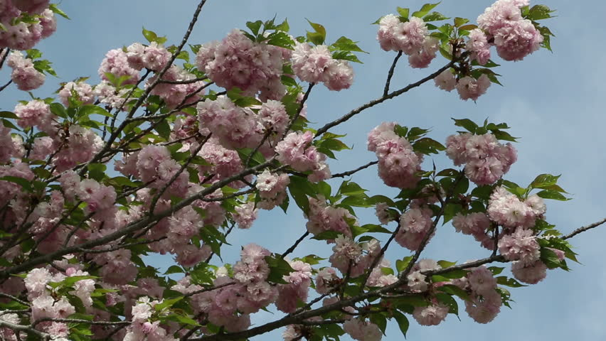 Stock video of tahiti pink flowers on tropical tree 4732142 hd0015puffy pink blooms on the branches of a beautiful spring tree mightylinksfo