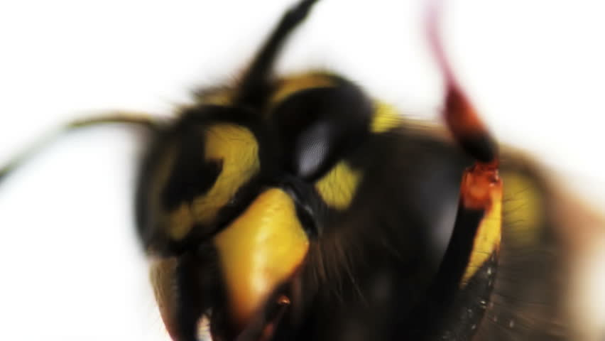Wasp stinger magnified