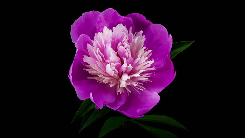 Timelapse of pink peony flower blooming on black background | Shutterstock HD Video #3832991