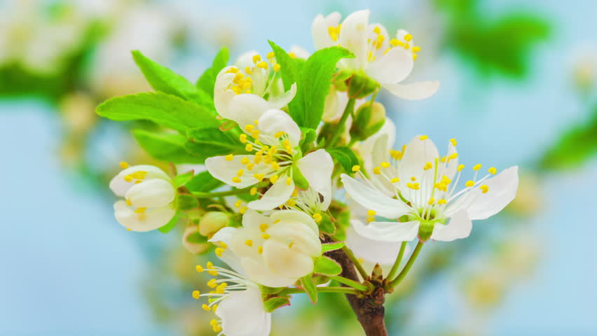 Hd macro time lapse video of a wild plum flower growing and blooming on a blue background/Wild plum flower blossoming macro timelapse