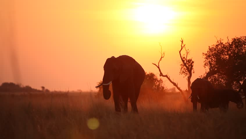 A pan shot of a herd of elephant  eating in the silhouetted sunset. | Shutterstock HD Video #3842720