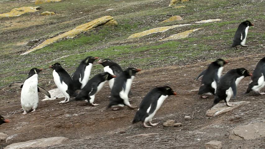Rockhopper penguins walking uphill and downhill