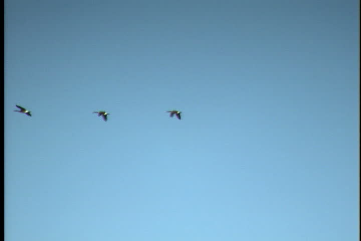 PRINCE EDWARD ISLAND, CANADA - CIRCA OCTOBER 2000: Geese fly across sky in single-file formation.