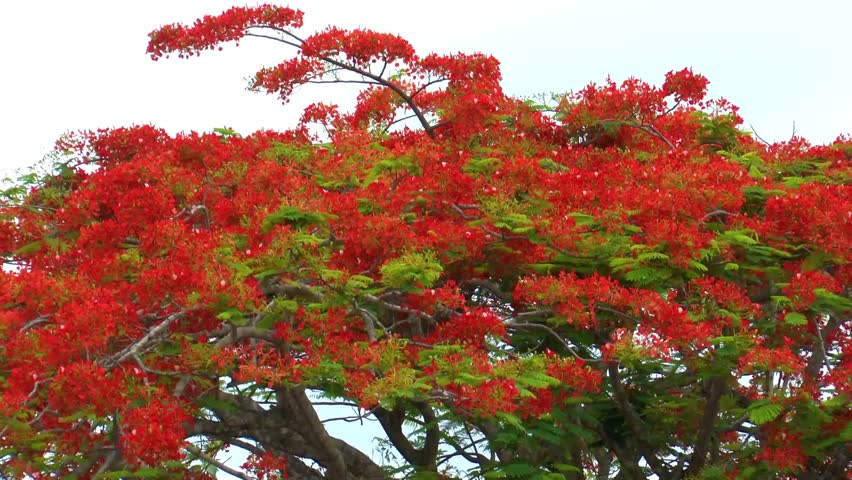 Beautiful Red Acacia Tree By Stock Footage Video 100 Royalty