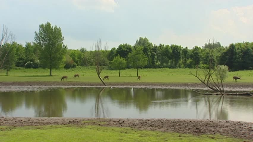 Swamp with Pere David's Deer (Elaphurus davidianus) or Milu. Pere David's Deer prefer marshland and graze on a mixture of grass and water plants.