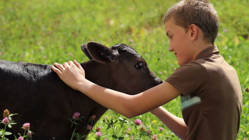 A young boy petting a small calf on a meadow #3889646