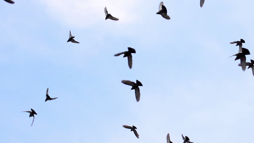 Large Flock of Birds. A flock of birds against the sky. Gradually increasing the number of birds. Slow Motion at a rate of 480 fps
