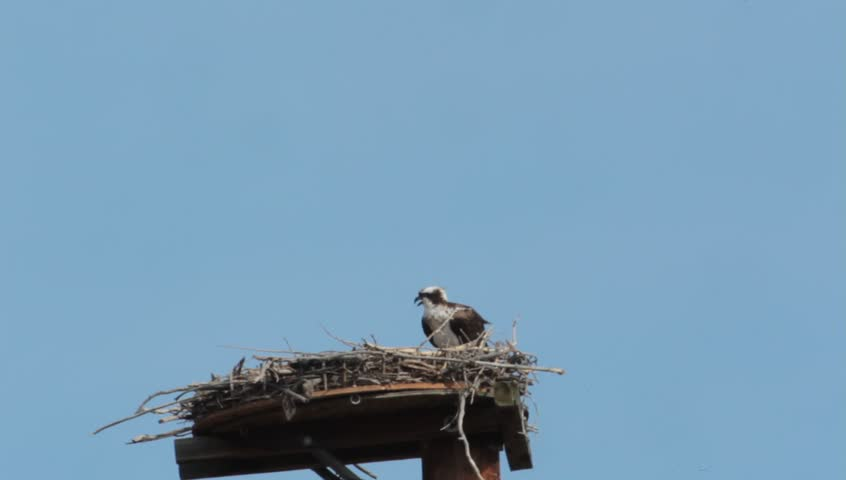 """Osprey Home Improvement"" - No matter how comfortable their nest may be, the osprey will continue to improve it to make it their perfect home."